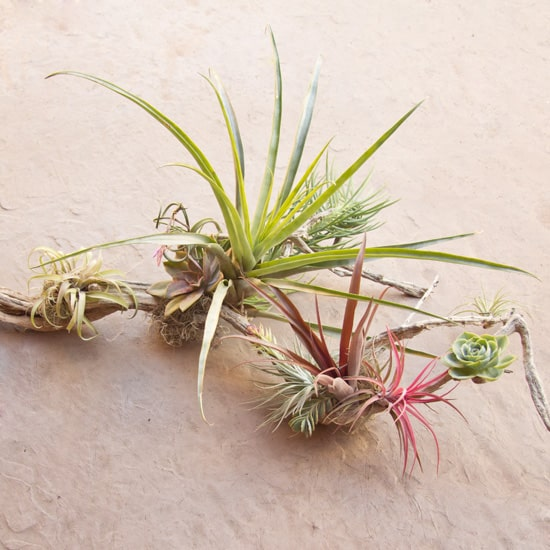 Air Plants For Sale Archives