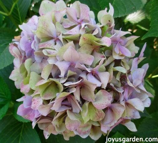 Flower Friday Blue Hydrangeas