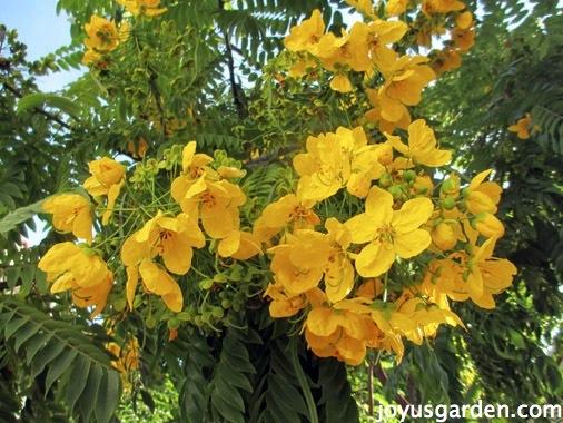Flower friday santa barbara flowering trees - Trees that bloom yellow flowers ...