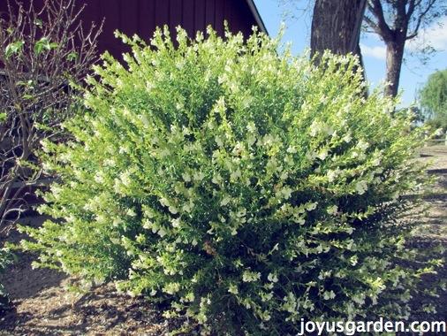 Pruning Perennial Salvias