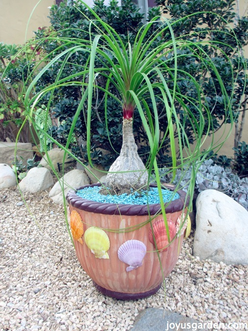 How to care for repot a ponytail palm for Ponytail palm cats