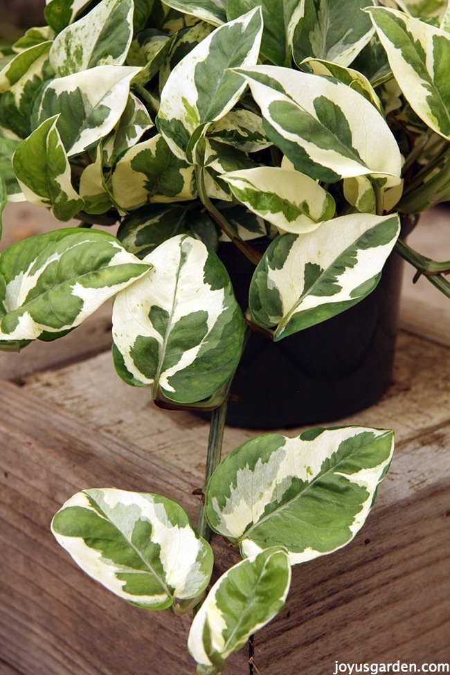 5 Things To Love About Pothos