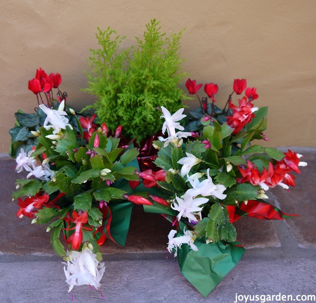 Christmas Cactus Care Tips & Merry Christmas, Happy New