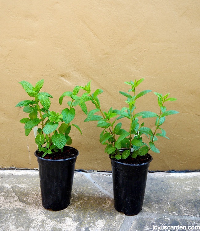 mint wonderful mint how to care for plant this fragrant herb. Black Bedroom Furniture Sets. Home Design Ideas