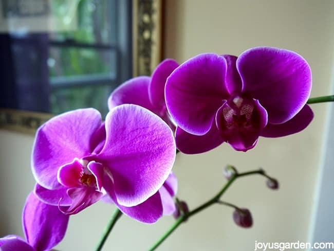 How i water my phalaenopsis orchids How do you care for orchids after they bloom