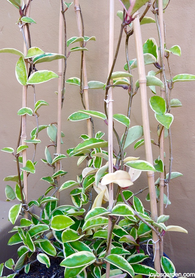 The Beloved Hoyas Care And Repotting Tips