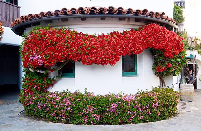 The Big Winter Pruning Amp Training Of My Bougainvillea