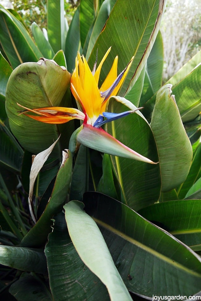 Bird of paradise plant care for Best flowers to grow in california