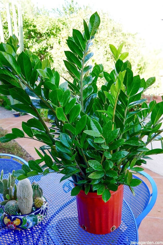 Houseplant alert 3 reasons you need the awesome zz plant for Easy to care for outdoor flowering plants