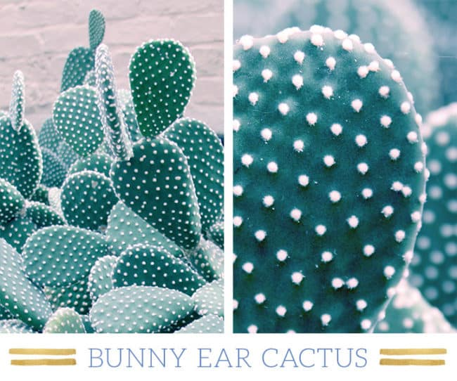 Stunning Desert Plants Succulents: bunny-ear-cactus