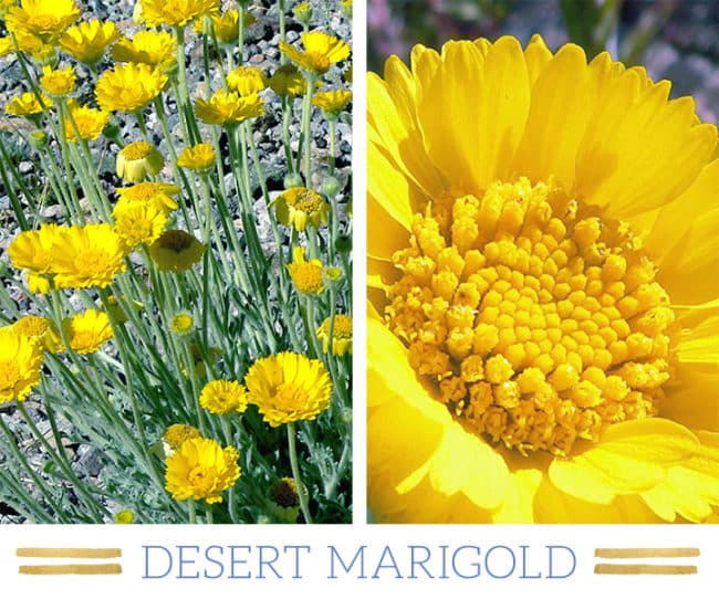 Stunning Desert Plants Succulents: desert-marigold