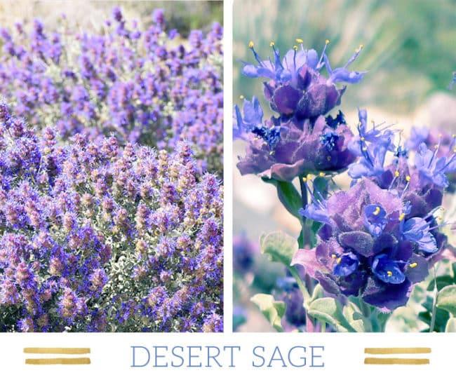 Stunning Desert Plants Succulents: desert-sage