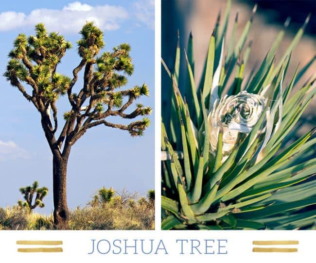 Stunning Desert Plants Succulents: joshua-tree