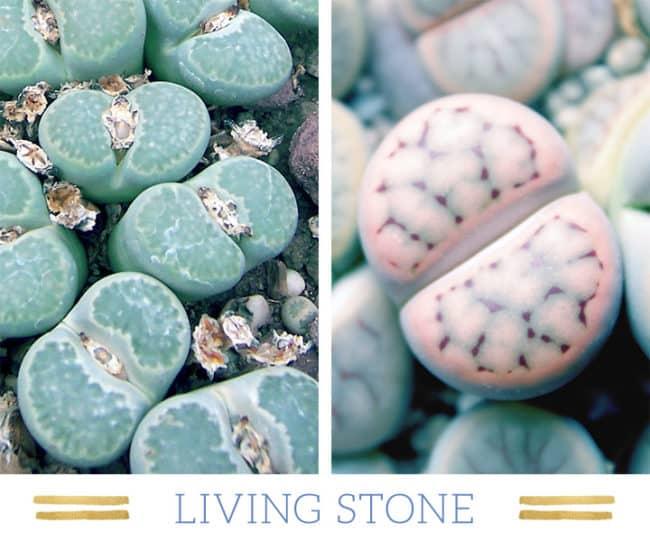 Stunning Desert Plants Succulents: living-stone