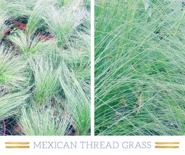 Stunning Desert Plants Succulents: mexican-thread-grass