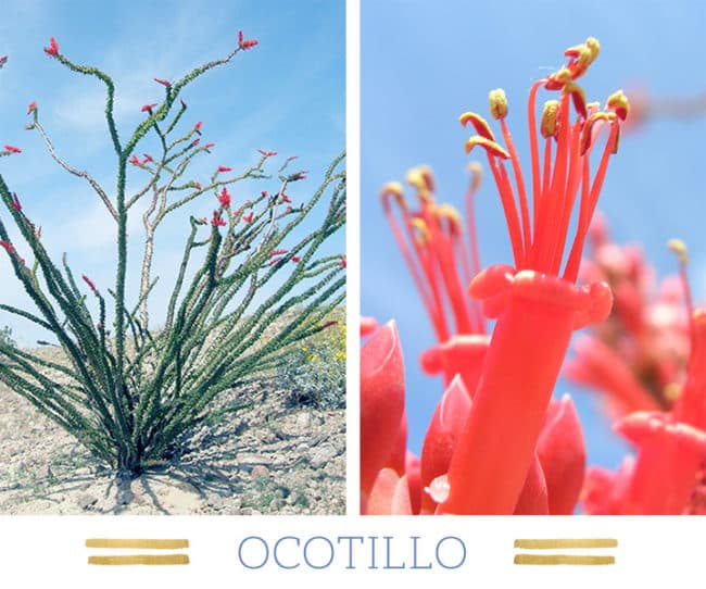 Stunning Desert Plants Succulents: ocotillo