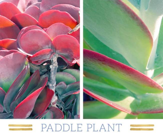 Stunning Desert Plants Succulents: paddle-plant