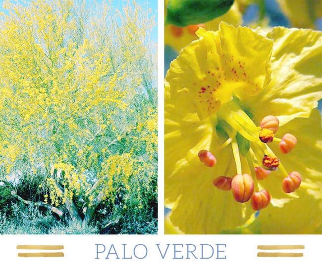 Stunning Desert Plants Succulents: palo-verde