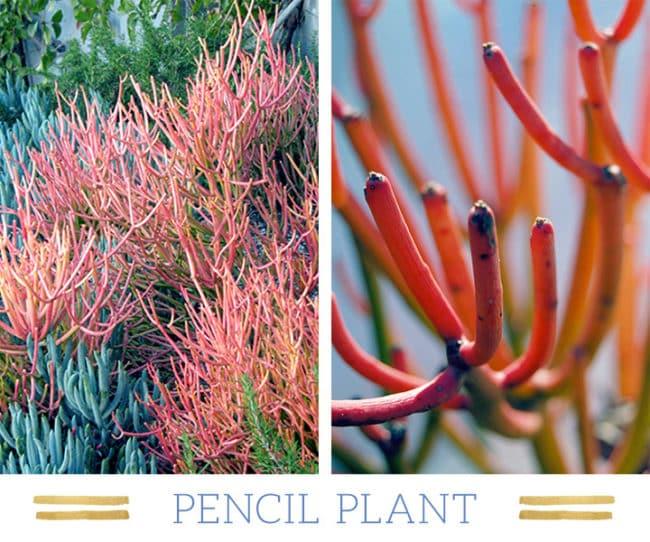 Stunning Desert Plants Succulents: pencil-plant