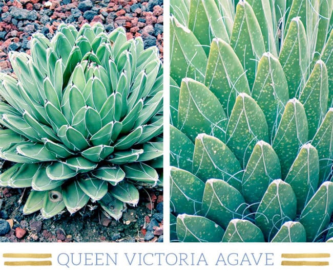 Stunning Desert Plants Succulents: queen-victoria-agave