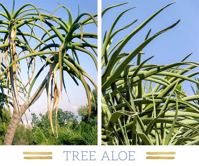 Stunning Desert Plants Succulents: tree-aloe