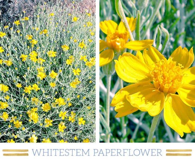 Stunning Desert Plants Succulents: whitestem-paperflower