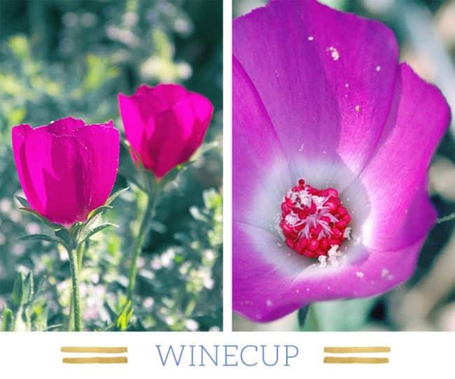 Stunning Desert Plants Succulents: winecup