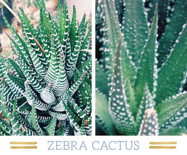 Stunning Desert Plants Succulents: zebra-cactus