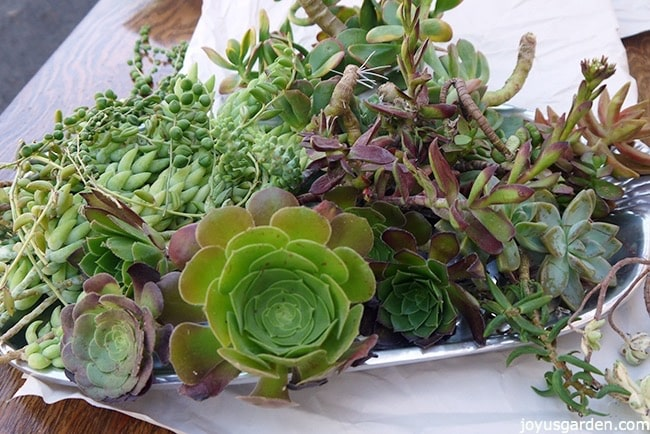 planting an unlikely pair of succulents