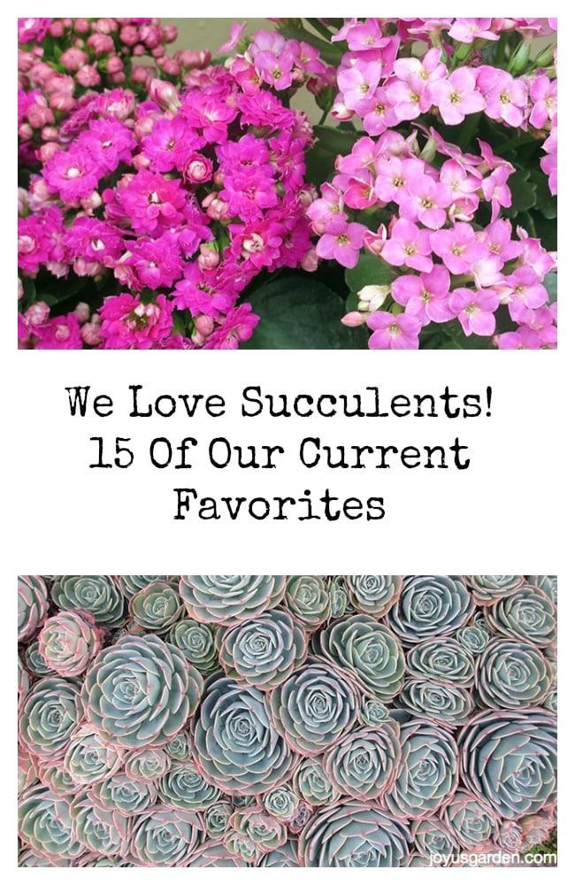 favourite succulents
