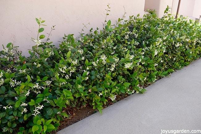 How to Grow Jasmine pics