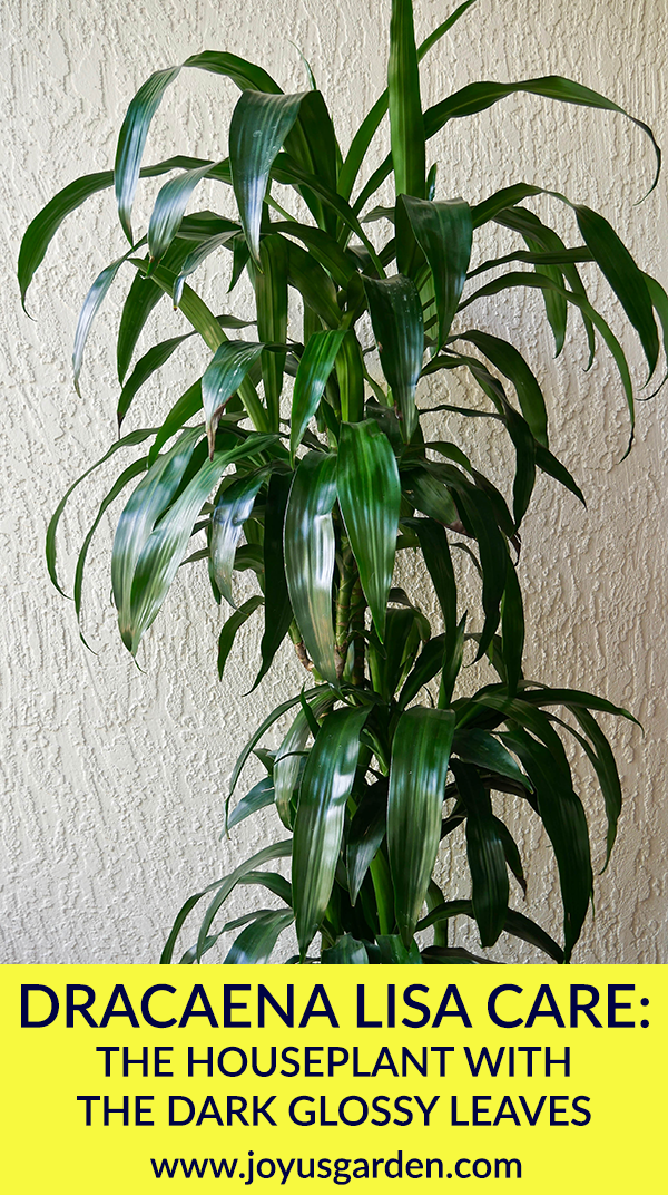 Dracaena Lisa Care The Houseplant With The Dark Glossy Leaves