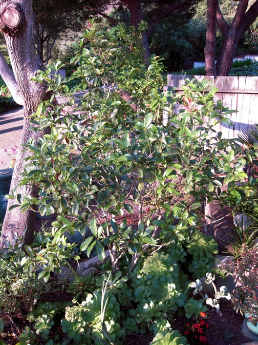 An Osmanthus fragrans or sweet olive in the front yard.