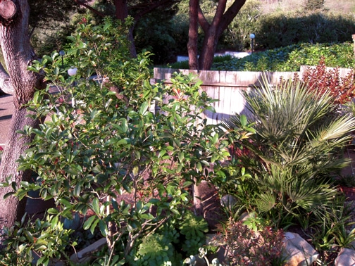 My standard way of pruning an Sweet Olive and maintaining an ideal height and width of a plant.