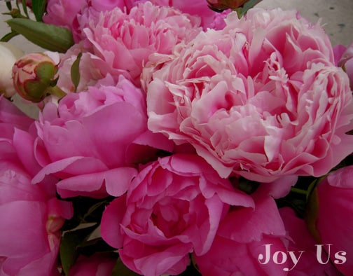 Peonies belongs to the family Paeoniaceae w/c are native to Asia, North America and Europe.