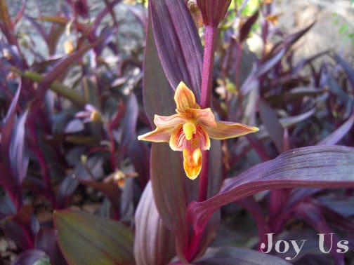 "An Epipactis gigantea ""Serpentine Night"" w/c can be found in moist places of California that has a reddish purple color and bearing an orange-brown-yellow flowers."