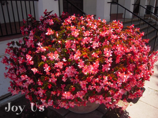 Full bloom Begonia Richmondensis in a large terra cotta pot that sits outside of Santa Barbara's city hall.
