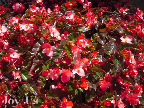 Begonia Richmondensis flowers are small and pink or vivid red in color.