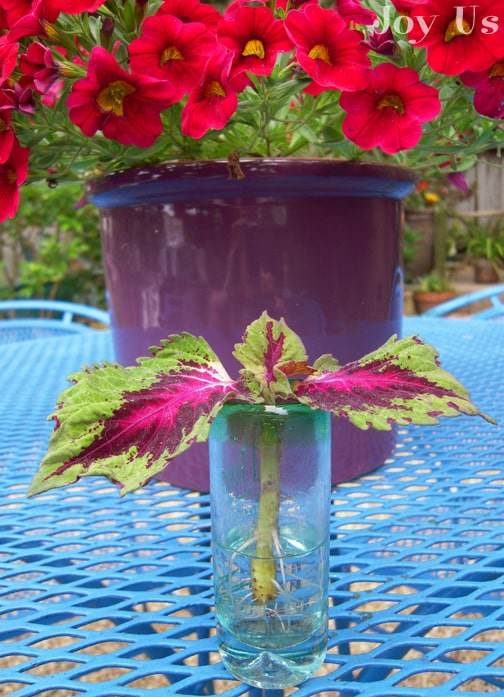 "Coleus ""Kong Red"" a flowering plants that belongs to a family of Lamiaceae. Perfect for terraces, gardens or shady yards."