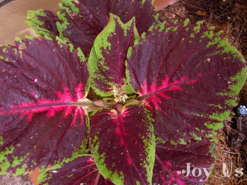 "Coleus ""Kong Red"" a good natured plant w/c actually grows inside than outside. A native plant that can be found in Asia."