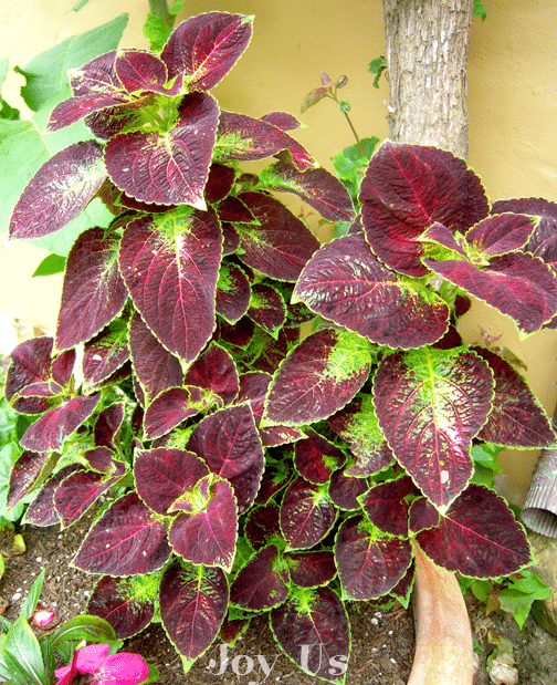 Fully grown and colorful Coleus leaves w/c are easy to propagate and the easieast plant to grow indoor than outdoor.