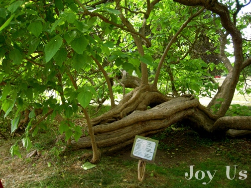 The oldest Catalpa tree in the park.
