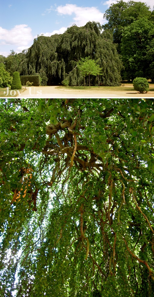 Far view and inside look of Catalpa tree.