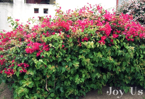 Decorative Bougainvillea hedge plant that produces flowers.