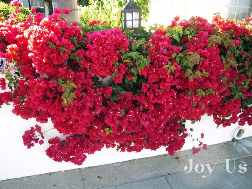A vibrant red Bougainvillea can also grow on the wall with or without support.