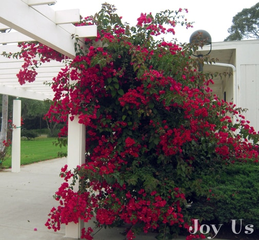 Bougainvillea over a Pergola.