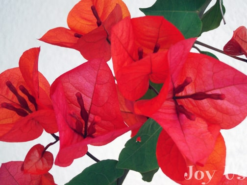 Find out tips and facts about Bougainvillea
