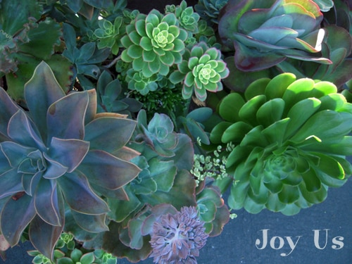 Succulents are versatile and add color to your home