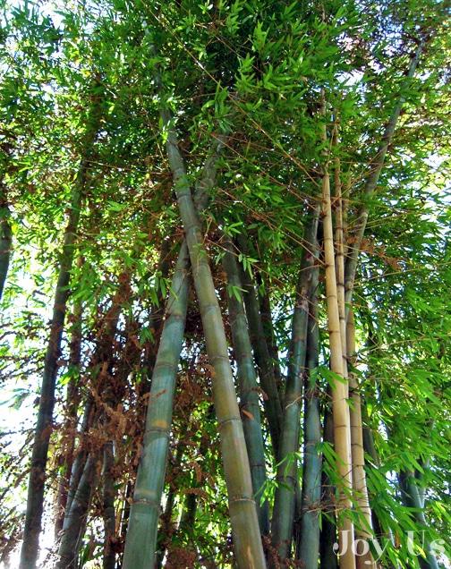 Bamboo growing in San Diego