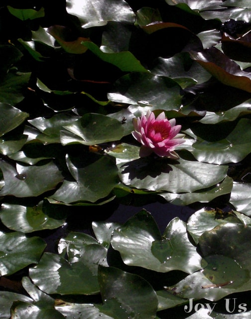 Gorgeous lilly pad